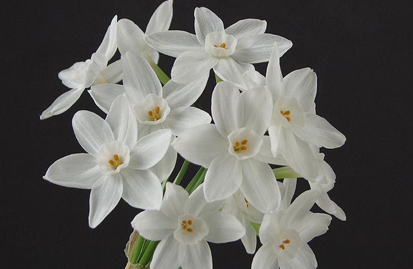 paper white bulbs Shop paperwhites, narcissus and all your favorite flower bulbs at wholesale   paperwhite narcissus grand soleil d'or  narcissus paperwhite ziva gift kit.